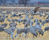 Sandhill Crane, Grus canadensis, Dancing, Tossing Grass, Monte Vista National Wildlife Refuge, Colorado, USA, North America