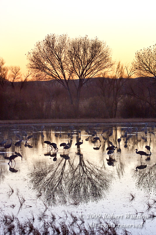Sunset, Sandhill Cranes, Grus canadensis, Bosque del Apache National Wildlife Refuge, New Mexico, USA, North America