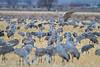 Sandhill Crane, Grus canadensis, Dancing, Tossing Grass, Monte Vista National Wildlife Refuge, Colorado, USA, North America