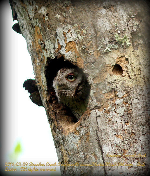 2014-03-29_IMG_8786__Screech-Owl,Booker Creek