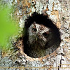 2014-03-29_IMG_8789__Screech-Owl,Booker Creek