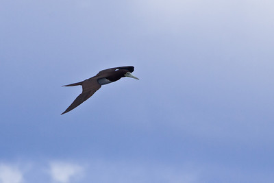 Brown Booby, Kauai, 2011