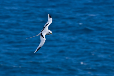 White-tailed Tropicbird, 2011