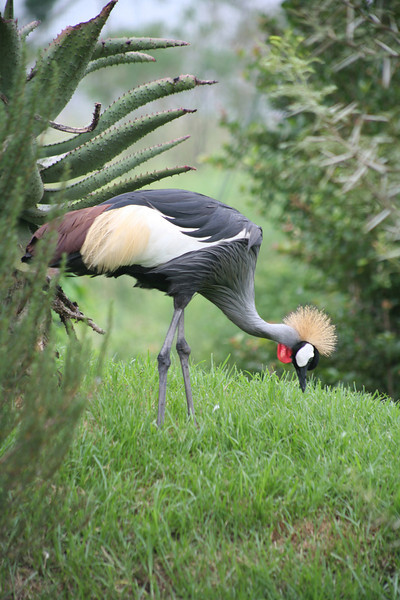 Grey crowned crane, or secretary bird, Balearica regulorum