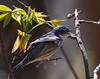 Cerulean Warbler, male<br /> Switzer Lake area, 5-3-15