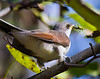 Yellow-billed Cuckoo with meal