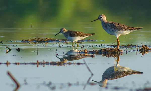 Lesser Yellowlegs and Solitary Sandpiper