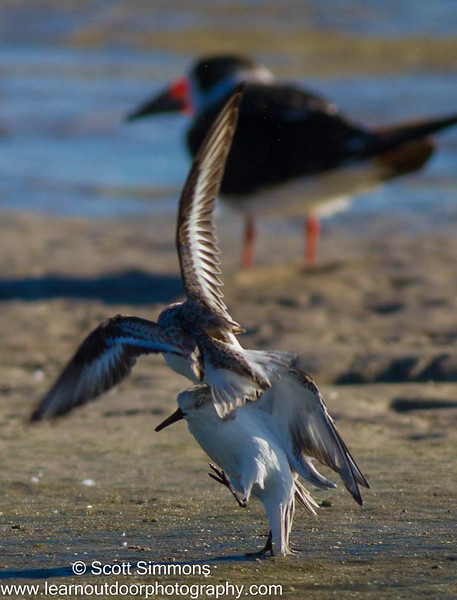 Sanderling Fight