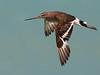 Black-tailed Godwit, Broome
