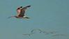 A whimbrel with a escort of smaller birds