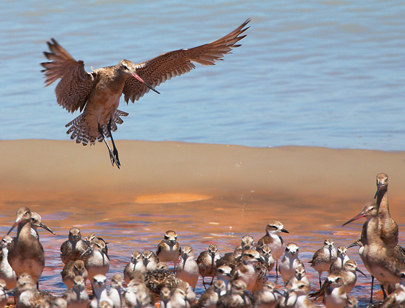 A Bar-tailed Godwit landing on a crowded beach.  Roebuck Bay