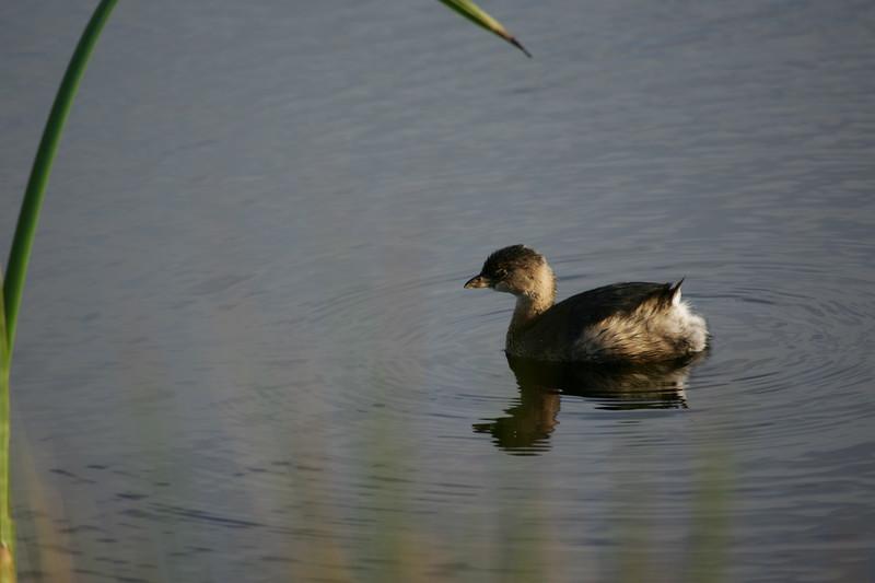 Pied-billed Grebe, Pt Reyes pond