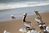 Brown Pelican-4976
