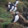 Puffins at Dyrholaey-1813