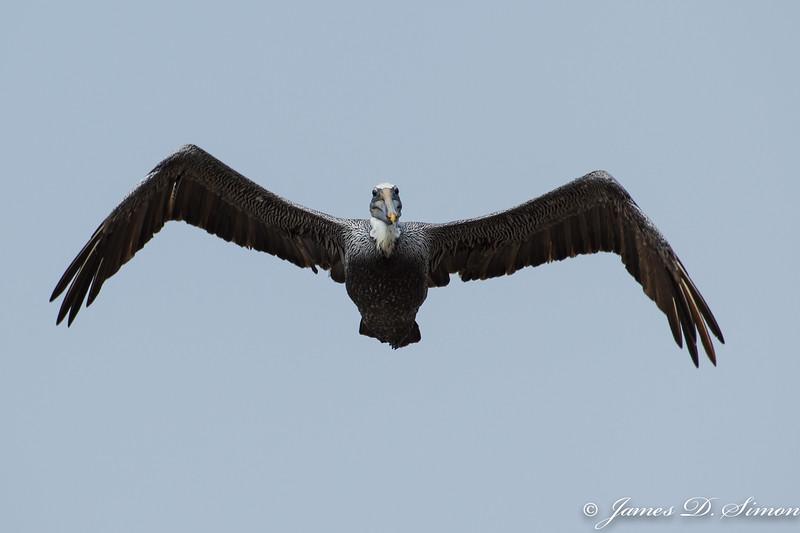 Brown Pelican-4504