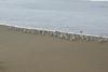 Snowy Plover Flock5