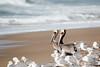 Brown Pelican-4967