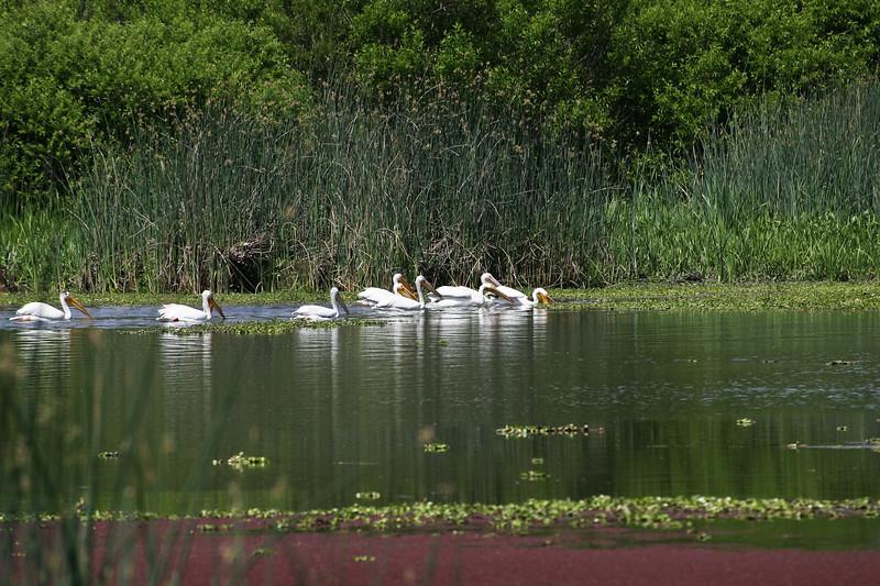 Pelican, White-13