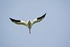 Pelican, White-12