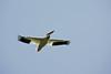 Pelican, White-3
