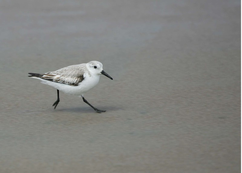 Single snowy plover running on beach