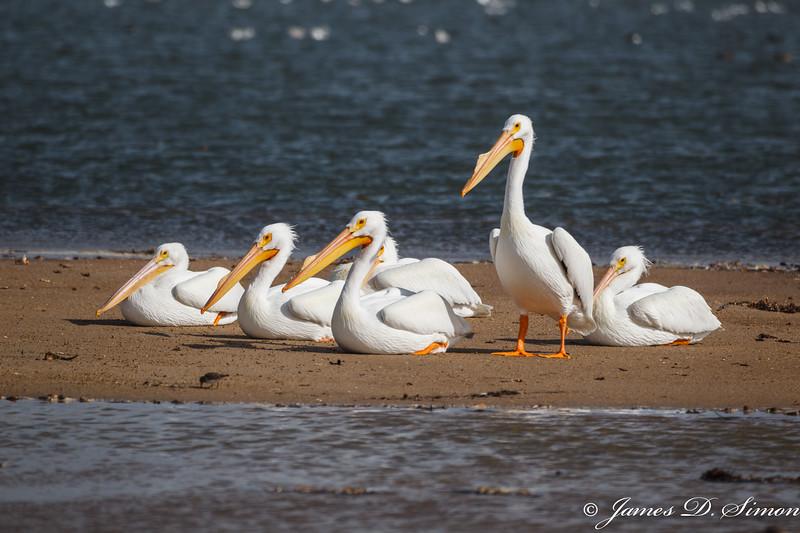 White Pelican-5142