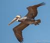 Brown Pelican-5075