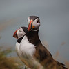 Puffins_Iceland-2237