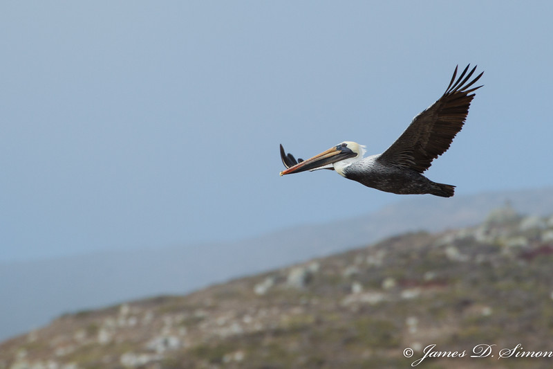 Brown Pelican-4566