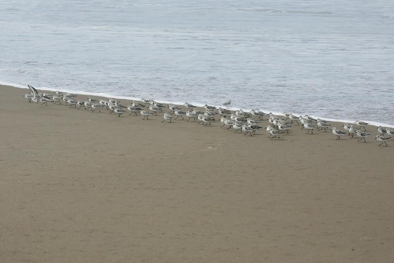 Snowy Plover Flock4