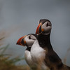 Puffins_Iceland-2226
