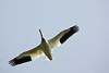 Pelican, White-7