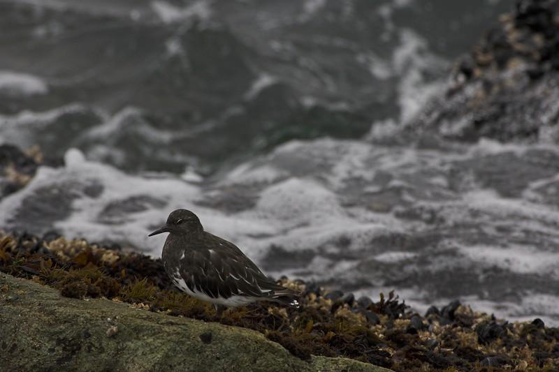 Black Turnstone, South Jetty, Humboldt Bay
