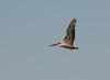 Brown Pelicans at Pt. Reyes