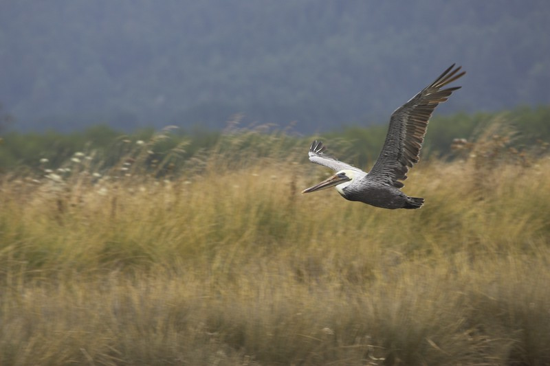 Brown Pelican, Humboldt Bay