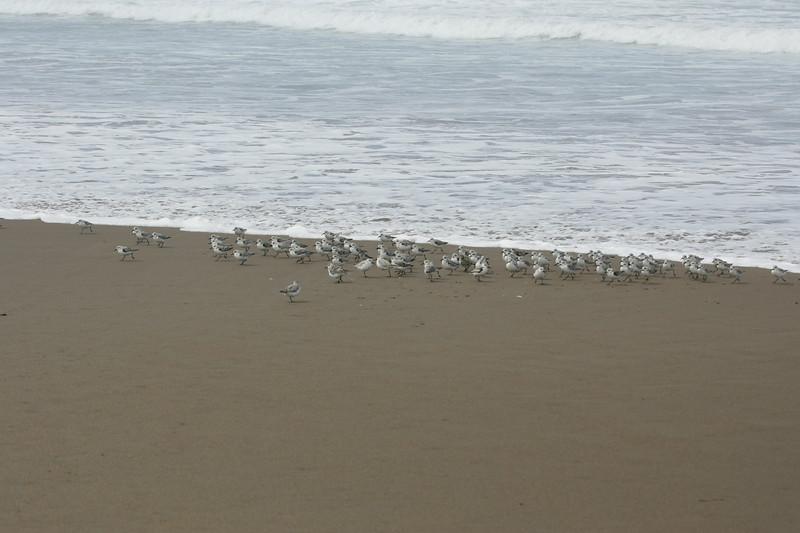 Snowy Plover Flock1