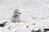 Snowy plover chick and egg