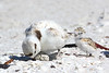 Snowy plover with egg and chick