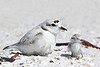 Snowy plover on egg and chick