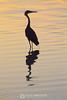 Reddish egret in sunrise