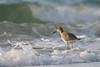 Willet in surf