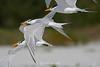 Royal terns in flight