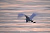 Egret in morning sunrise