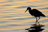Sunrise blue heron