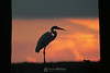 Egret silhouette in sunset