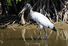 Wood stork with catch