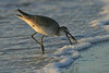 Willet with dinner time snack
