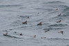 Mixed flock of Red and Red-necked Phalaropes in various plumage stages
