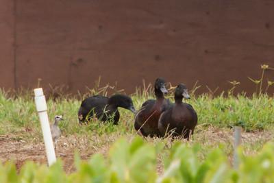 Pacific Golden-Plover, 2011