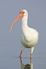 american white ibis portrait